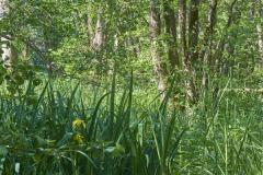 die Sumpflilie blüht